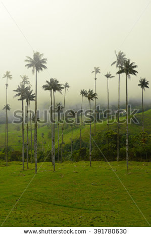 Wax Palm Trees Stock Photos, Royalty.