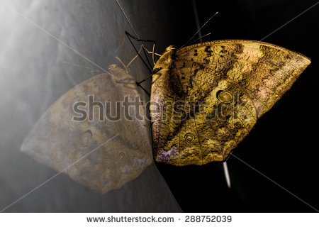Butterfly Mirror Reflection Stock Photos, Images, & Pictures.