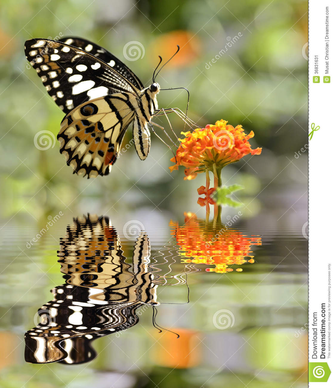 Lime Butterfly Above Water With Reflection Stock Image.