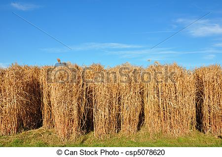Stock Photography of Giant grass (Miscanthus) csp5078620.