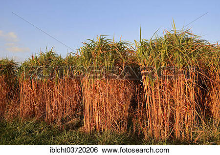 Stock Images of Giant Chinese Silver Grass (Miscanthus floridulus.