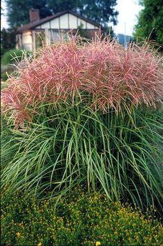 Maiden Grass Miscanthus sinensis 'Sarabande' Eulalia, Silver.