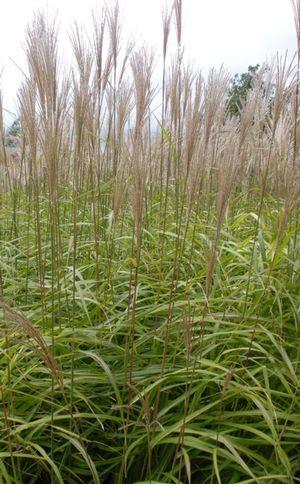 Miscanthus sinensis 'Huron Blush' from Neil Vanderkruk Holdings Inc..