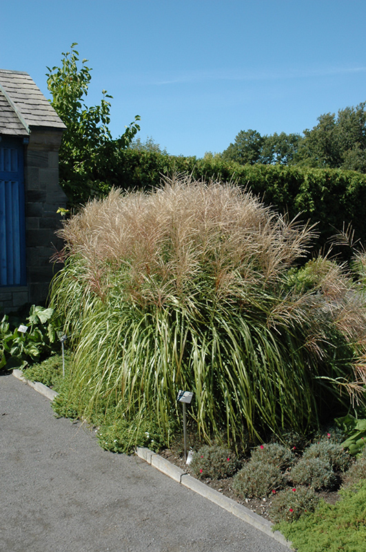 Huron Sunrise Maiden Grass (Miscanthus sinensis 'Huron Sunrise.