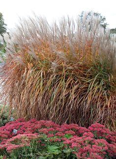 Purpurascens Flame Grass Miscanthus.