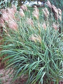 1000+ images about GARDEN: Ornamental Grasses on Pinterest.