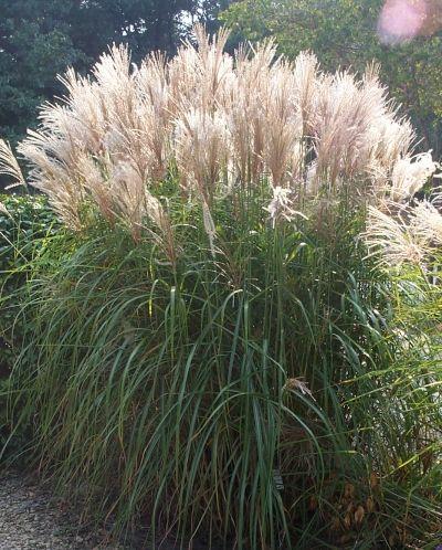 Miscanthus sinensis 'Silberfeder' (Silver Feather Grass):.