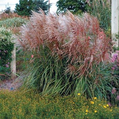 Green Value Nursery :: Perennials :: Ornamental Grasses.