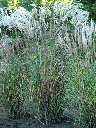 Blue Sky Nursery // Ornamental Grass // Grass Miscanthus sinensis.