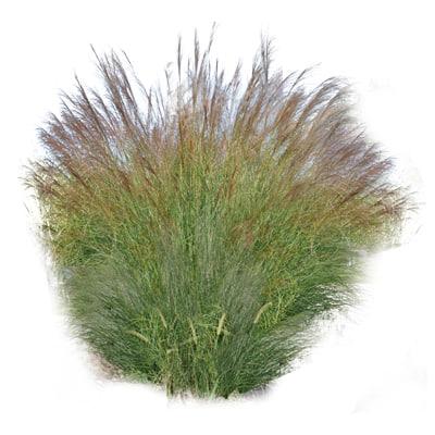 Maiden Grass.