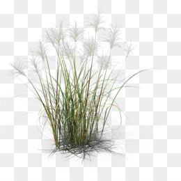 Miscanthus PNG and Miscanthus Transparent Clipart Free Download..