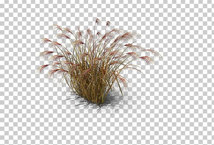 Chinese Silver Grass Miscanthus Giganteus PNG, Clipart.