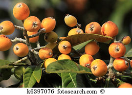 Chinese plum tree Images and Stock Photos. 854 chinese plum tree.