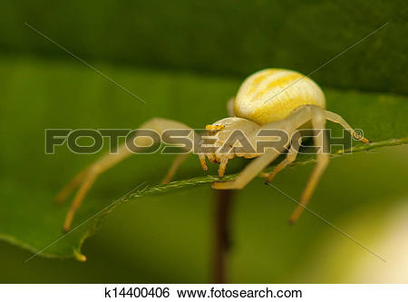 Stock Images of Misumena vatia k14400406.