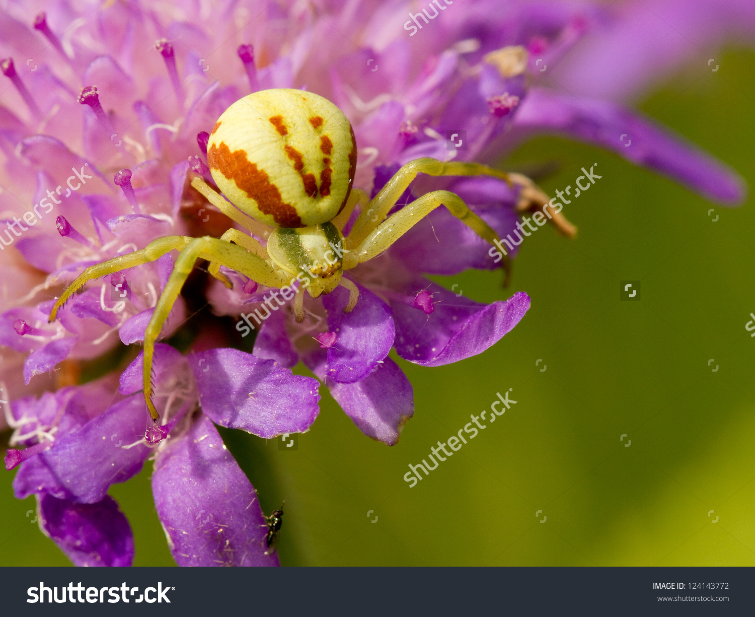 Goldenrod Crab Spider Sitting On A Flower.
