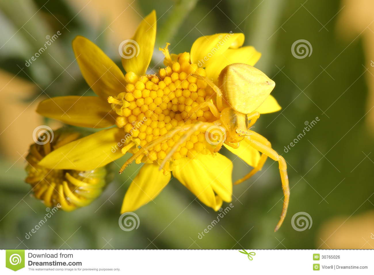 Goldenrod Crab Spider (Misumena Vatia) On Yellow Flower Royalty.