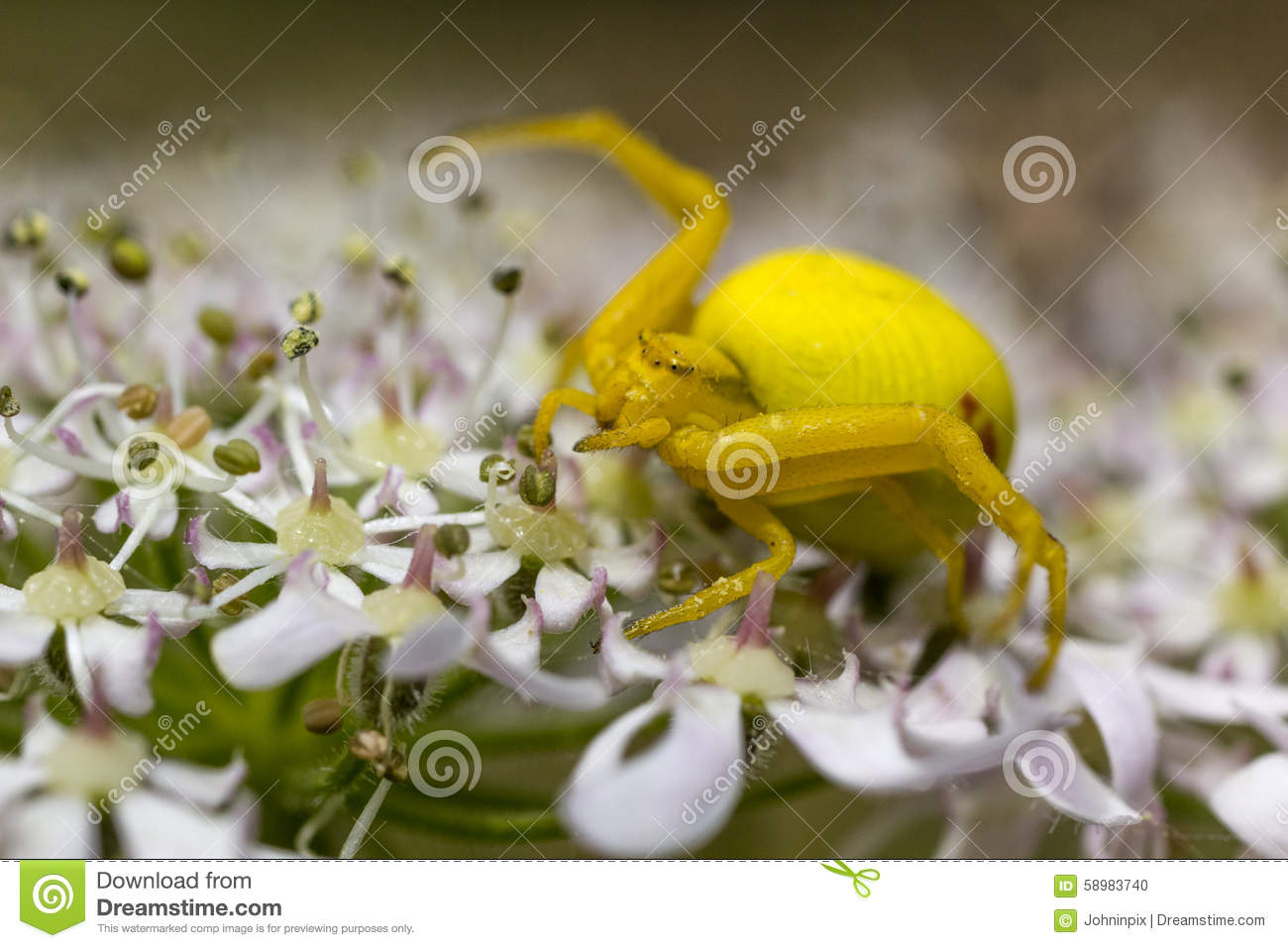 Detail Of A Bright Yellow Crab Spider (Misumena Vatia) On A Flower.