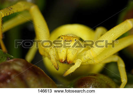 Stock Photo of goldenrod crab spider.