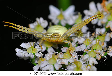 Stock Photo of female crab spider (Misumena vatia) k4074912.