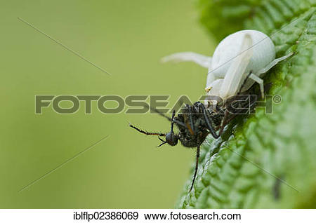 "Stock Photograph of ""Goldenrod Crab Spider (Misumena vatia), with."