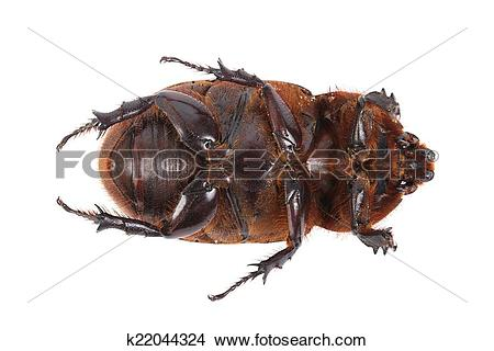 Drawings of Cockchafer k22044324.