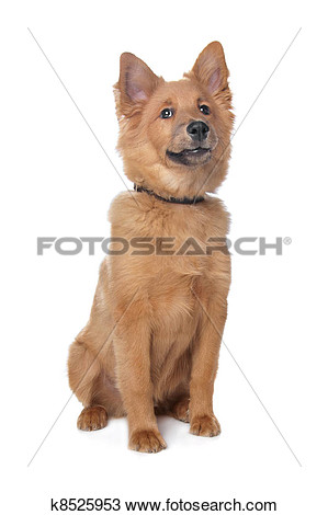 Dog clipart shelty mix.