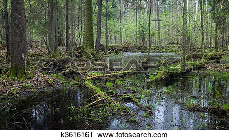 Stock Photography of Springtime wet mixed forest with standing.