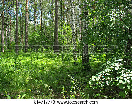 Stock Photo of Mixed forest. Summer landscape k14717773.