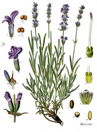 Botanical Print: Lavandula Angustifolia ] Lavender.