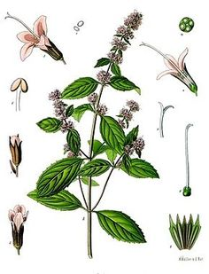 botanical illustration of lavender herb.