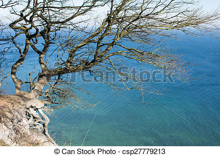 Stock Photography of Tree hanging off a cliff on moens klint in.