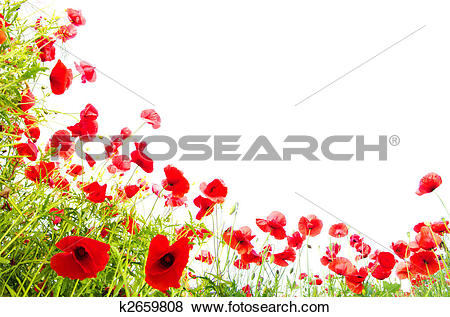 Pictures of red poppies on white k2659808.