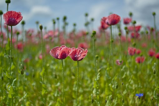 Field, Of, Poppies.