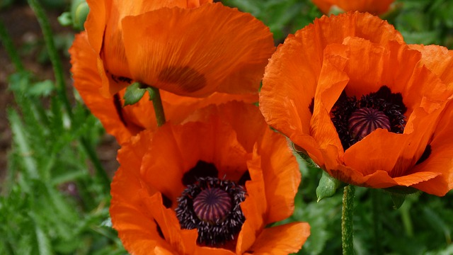 Free pictures POPPIES.