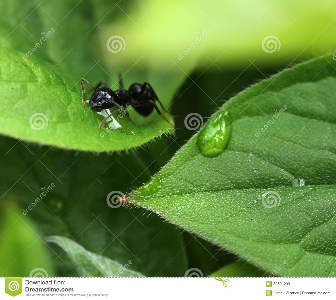 Ant Among Moist Green Garden Leaves Stock Photo.