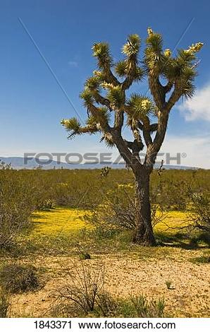 Stock Photography of Joshua tree in the Mojave desert, Los Angeles.