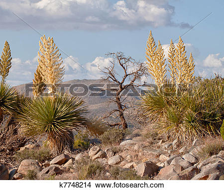 Stock Photo of Mojave Yucca (Yucca schidigera) and a dead tree.