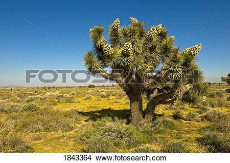Stock Photo of Joshua tree in the Mojave desert, California.