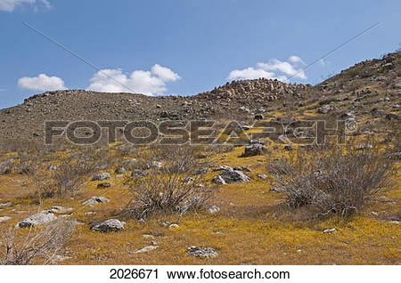 Stock Photography of Spring Wildflower Bloom In The Mojave Desert.