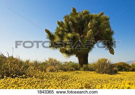 Stock Image of Joshua tree in the Mojave desert, California.
