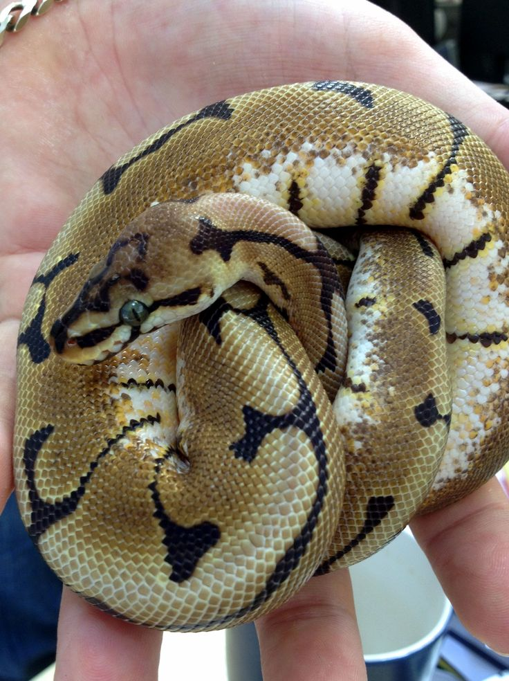 1000+ images about Snakes on Pinterest.