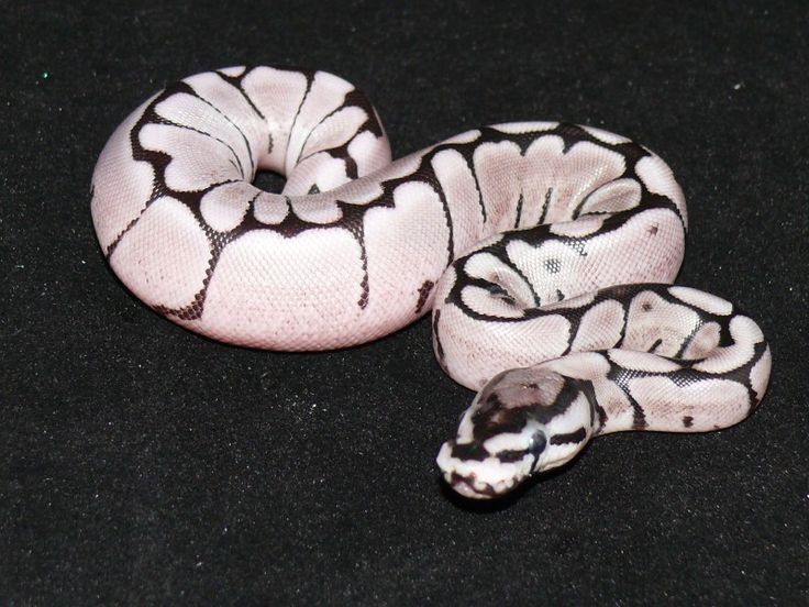 1000+ images about The ball python on Pinterest.