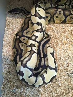 Baby Mojave Ball Python.