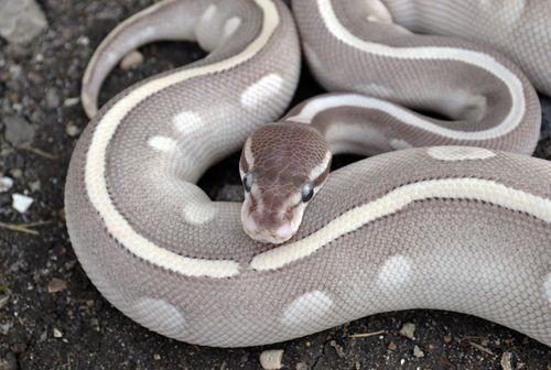 Mystic Mojave Ball Python (Python regius).