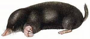 Free Mole Clipart.