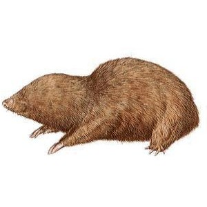 Mole animal clipart.