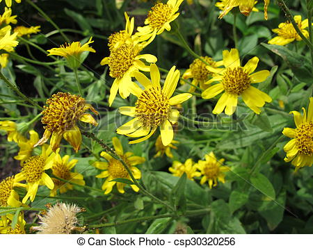 Stock Images of Hairy arnica, Arnica mollis csp30320256.