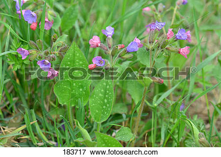 Picture of Lungwort (Pulmonaria mollis), flowering plants. Germany.