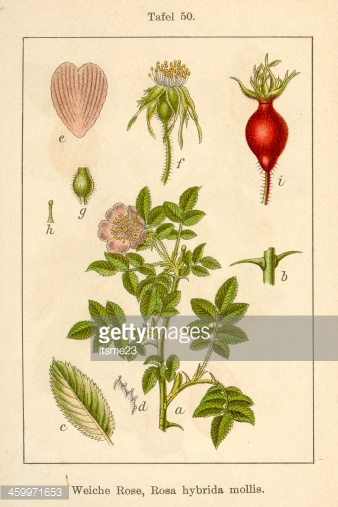 Botanic Fia V08 T50 Rosa Hybrida Mollis premium clipart.