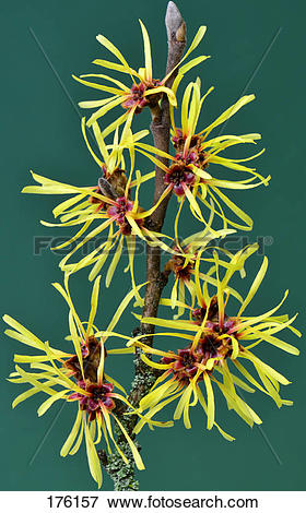 Picture of Chinese Witch Hazel (Hamamelis mollis), flowering twig.